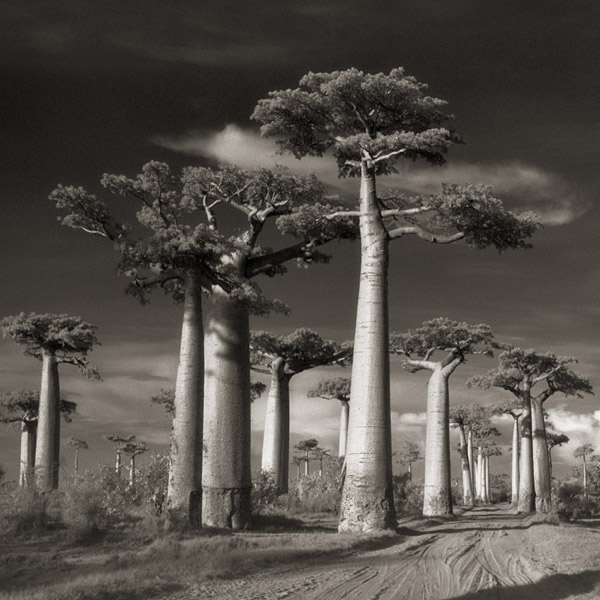 ancient trees beth moon