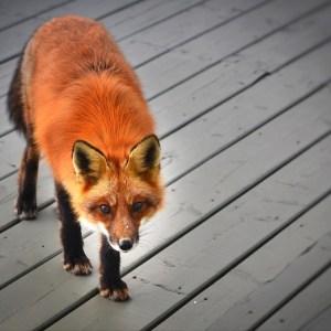 Magical Flash Fiction - the fox prize by Monique Quintana