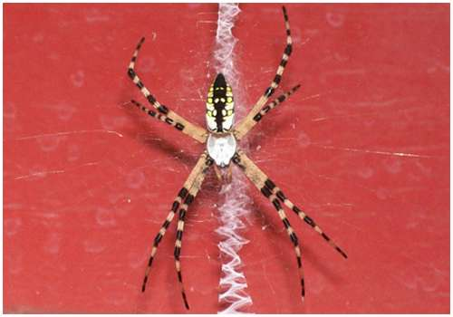 Argiope-aetherea