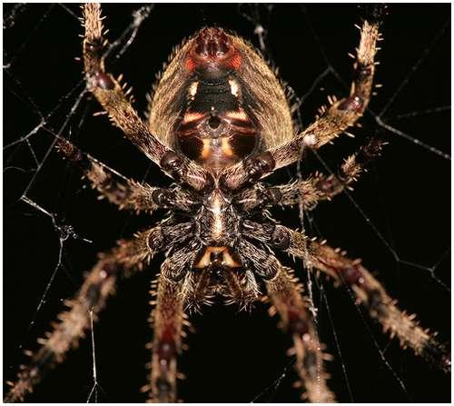 Barn-spider