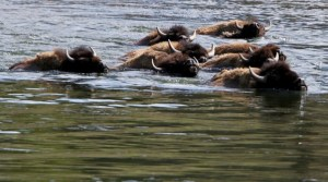 A herd of bison swim across the Yellowstone River in Yellowstone National Park, Wyoming, June 21, 2011. On average over 3,000 bison live in the park.REUTERS/Jim Urquhart (UNITED STATES)