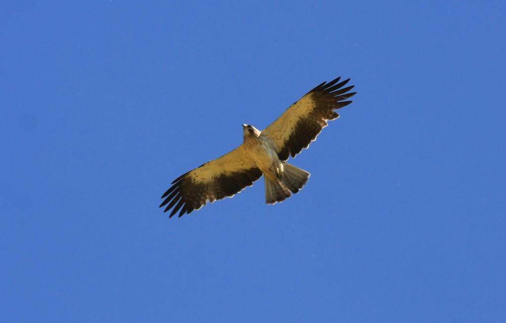 El Águila Calzada. Gavilanero. Foto de José Hernández.