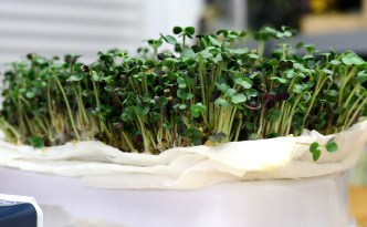 The EASIEST Indoor Gardening Project EVER!!!| Lentil, Pea, and Mustard Microgreens | 7 Days or LESS