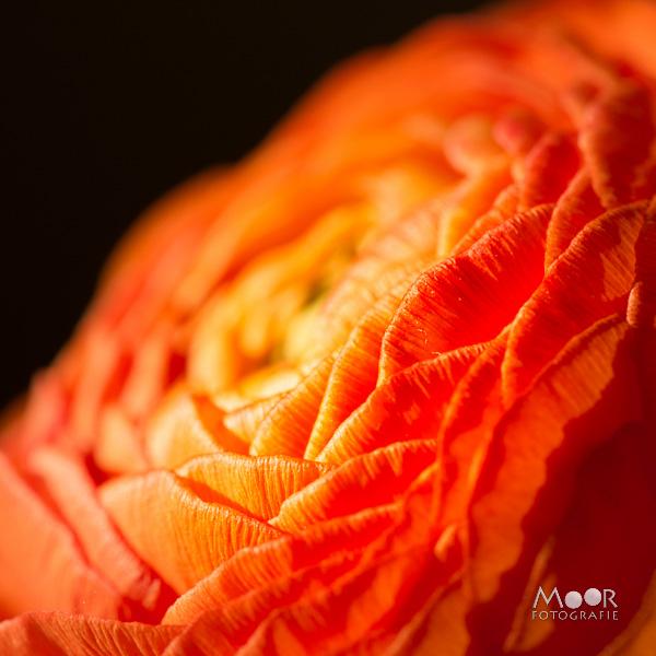 Woordloze Woensdag Macro Ranonkel Oranje Zacht Licht