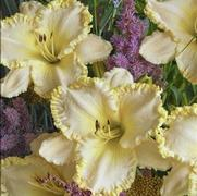 Daylily From Moose Crossing Garden Center