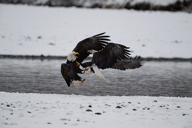 Bald Eagle 6534