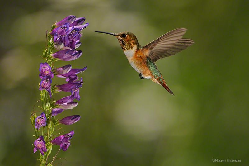 Allen Hummingbird 0138