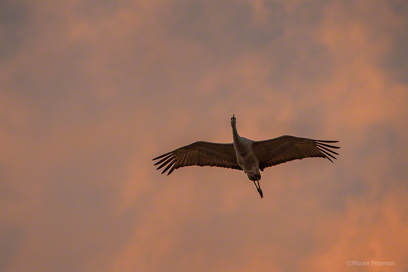 Sandhill Crane captured by D5 / 800mm