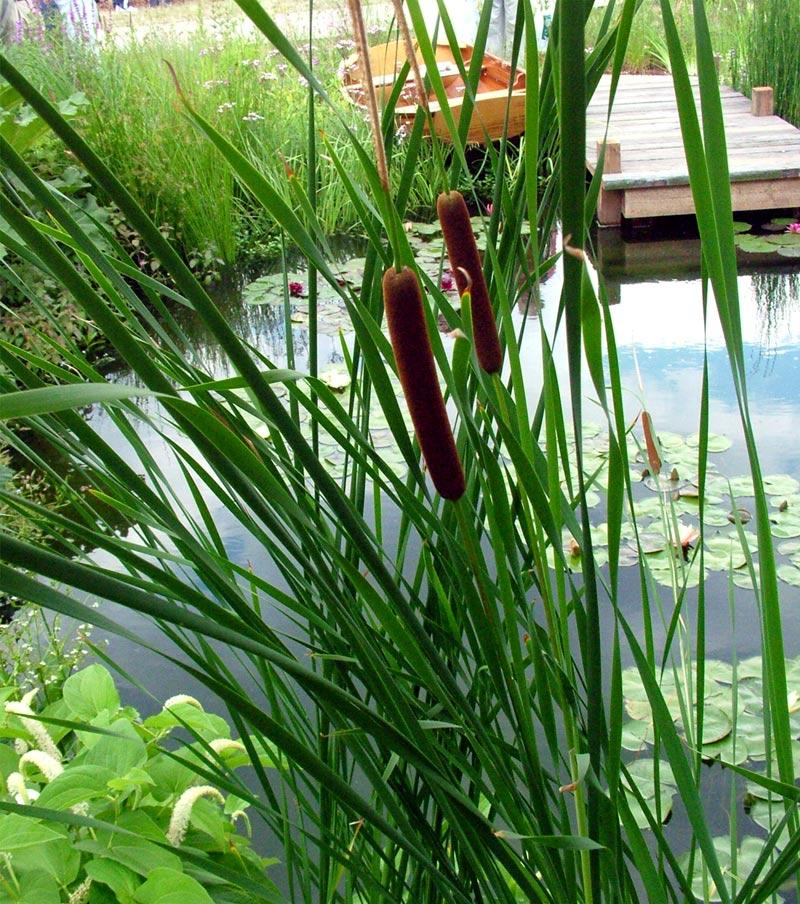 Deep Water Pond Plants Uk