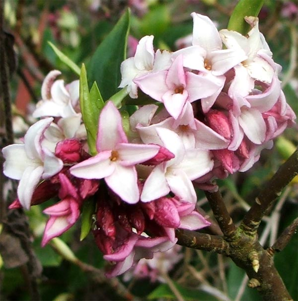 https://i2.wp.com/www.mooseyscountrygarden.com/shrubs/daphne-flower-closeup.jpg