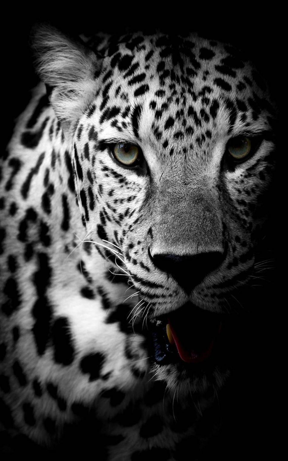 Download Leopard Black Amp White Free Pure 4K Ultra HD
