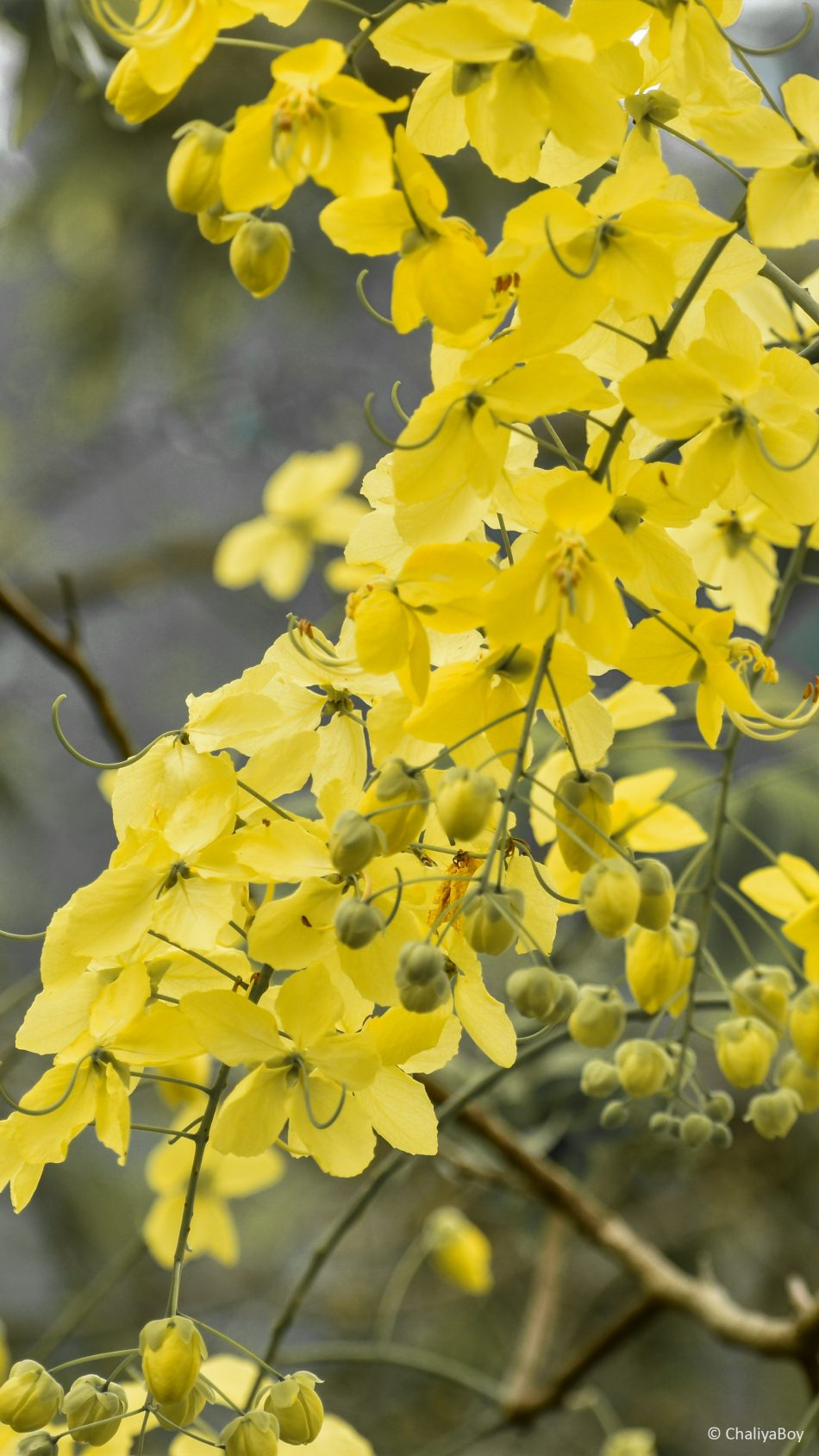 Yellow Golden Shower Flowers 4k Ultra Hd Mobile Wallpaper