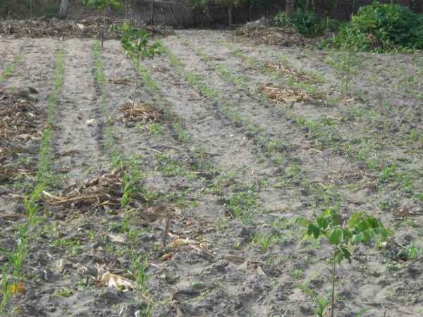 Mr. Worwui prepared field with sown corn and existing trees