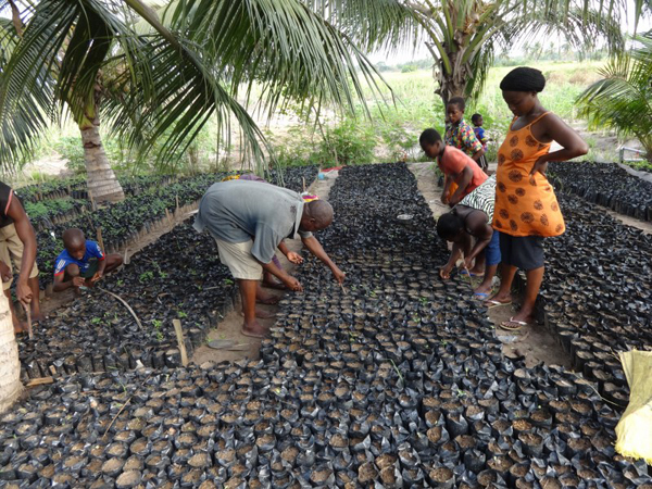 Families replacing seeds that did not germinate with mahogany