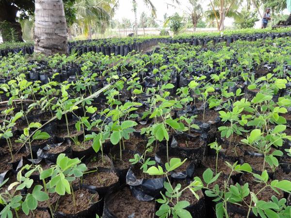 Samanea saman (rain tree) seedlings