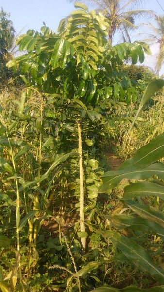 tree-among-crops