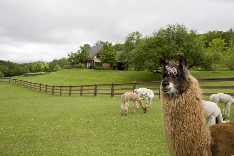 Alpaca_in_paddock