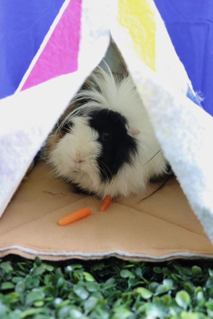 guinea pig in a tent