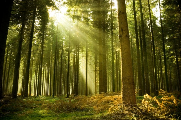 forest-tree-sun-ray-light-spruce-485x728
