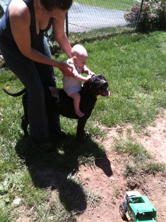 pit bull with baby 2