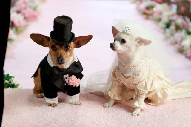 beverly-hills-chihuahua-2-picture12