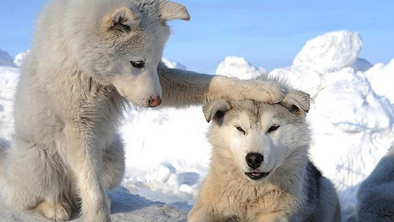 cute-siberian-husky-wallpapers