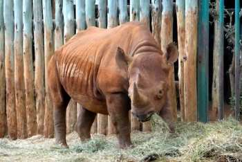 Rhinoceros bred at the David Sheldrick Wildlife Orphanage in Nairobi