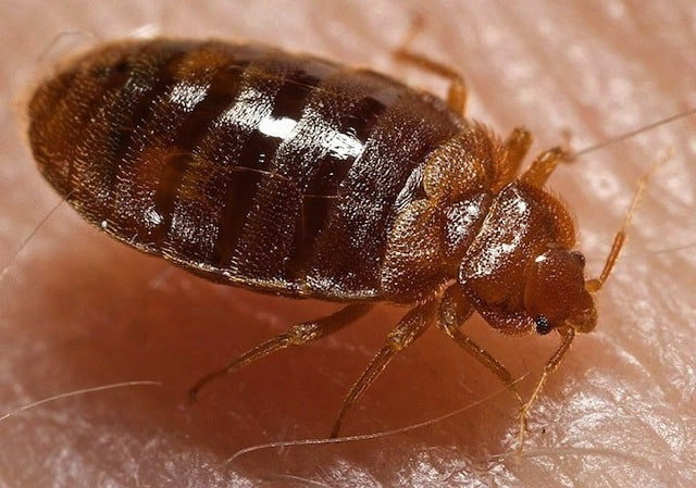 What a Bedbug Looks Like (Source: Wikipedia)