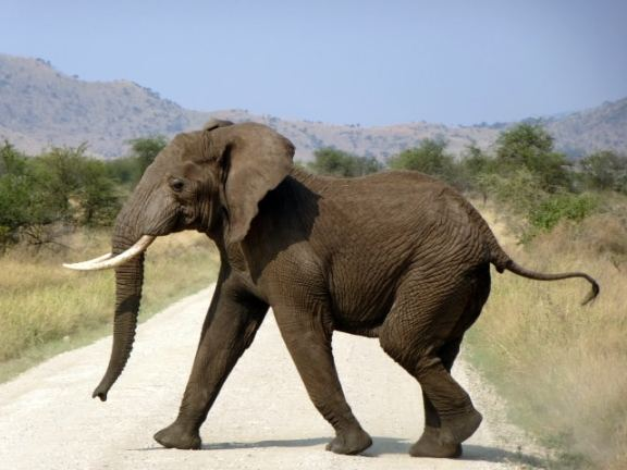 An elephant crossing the road in Serengeti National Park (Tanzania)