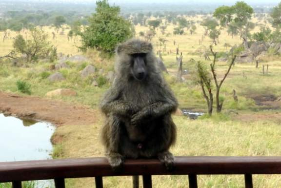 A baboon visits on our deck rail at the Four Seasons