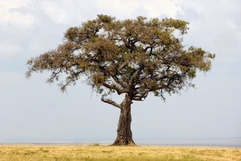 Serenity for the over-50 traveler: An acacia tree on the African savannah