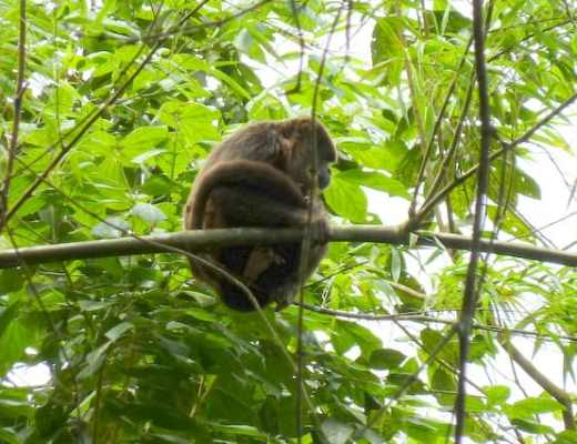 A howler monkey at Pacoche