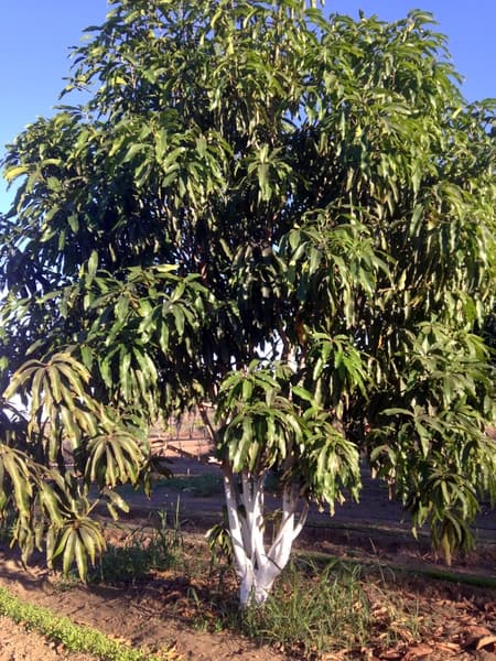 One of the mango trees