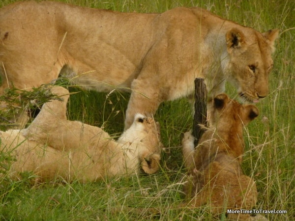 Lion with her cubs