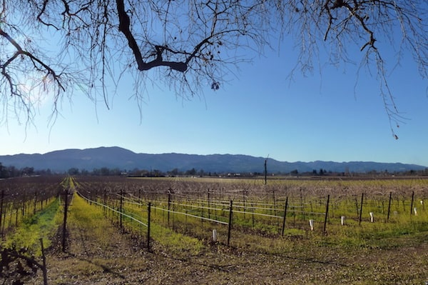 Napa vineyards during Cabernet Season