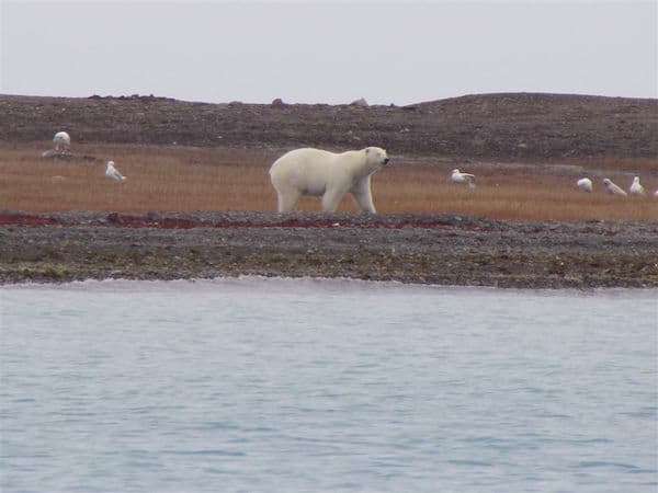 Exploring the Northwest Passage: First polar bear spotted