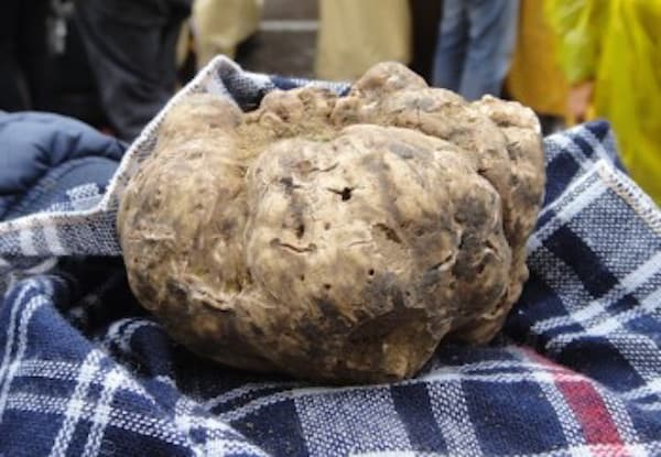 Prize-winning white truffle at the Sant'Agata festival