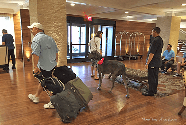 A stylish Great Dane checking out after a stay on one of the pet-friendly floors.
