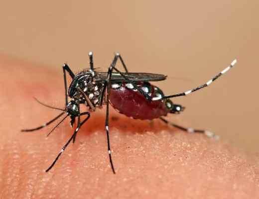 Feeding mosquito - Aedes aegypti (Photo Credit: Muhammad Mahdi Karim GFDL 1.2)