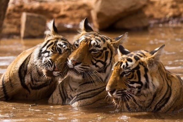 Tigers in India (Credit: Nachiketa Bajaj for Shutterstock)