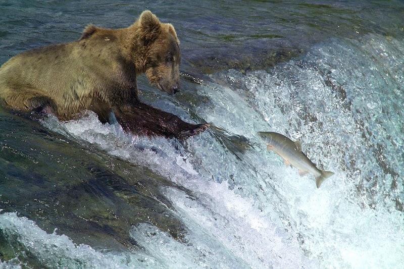 Brown Bear Fishing (Credit: Pixabay)