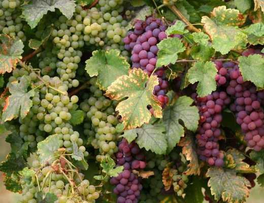 Cremant DAlsace - Vineyard in Alsace (Credit: Pixabay)