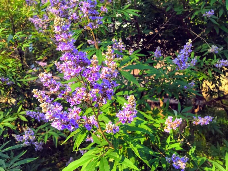 Ubiquitous purple vitex