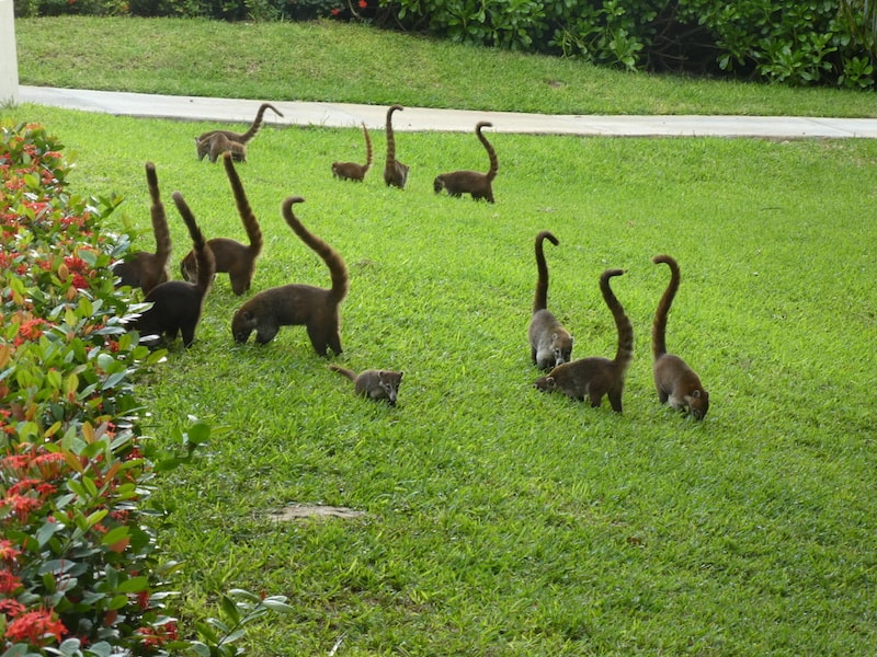 Coatis at Zoetry Paraiso de la Bonita