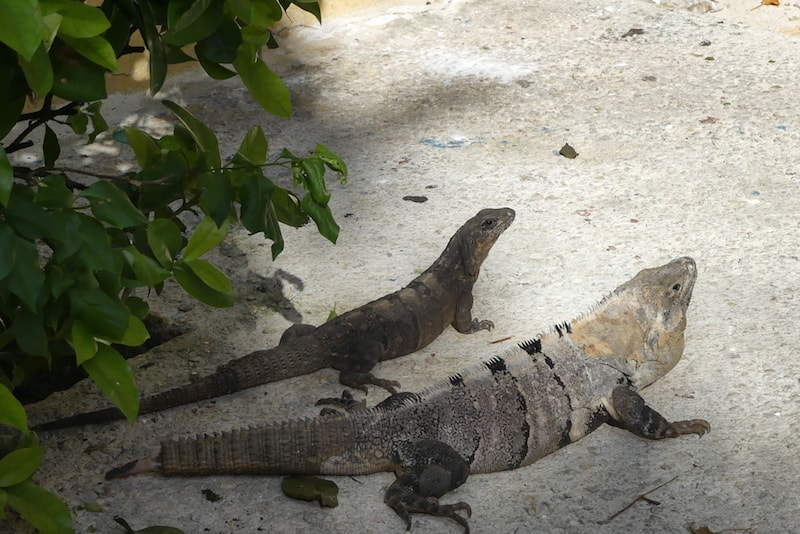 Iguanas along the path at Zoetry Paraiso de la Bonita