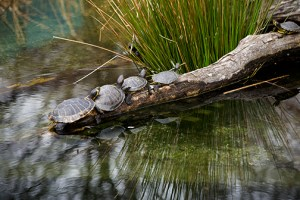 Photo of turtles on a log