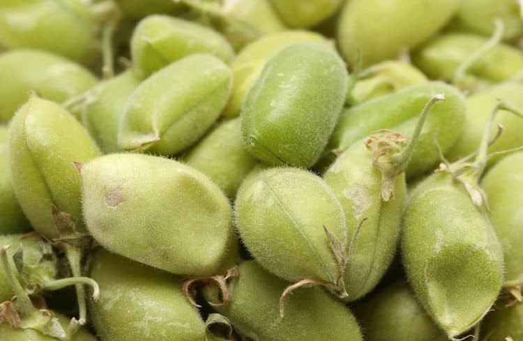 how to grow chickpeas plant