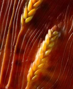gardenwheat-kernels