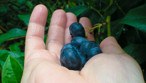 blueberrywars-5