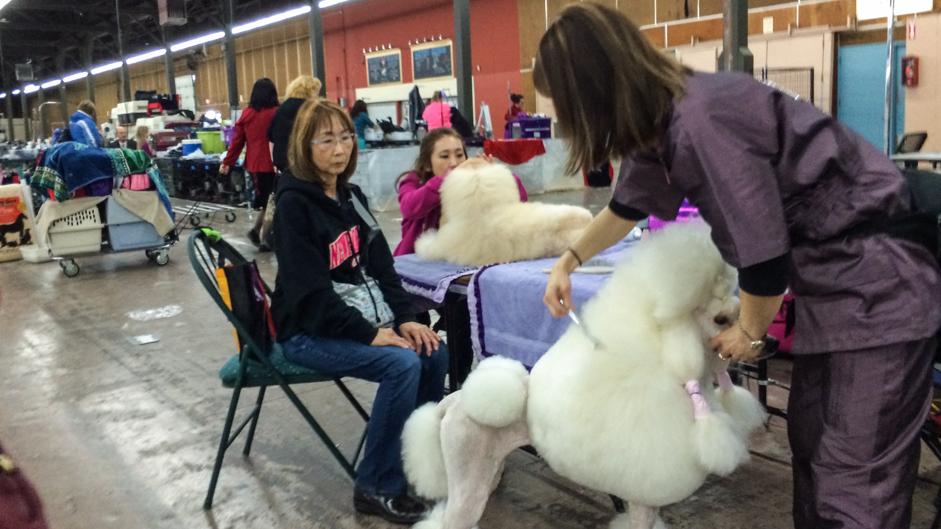 dog-poodle
